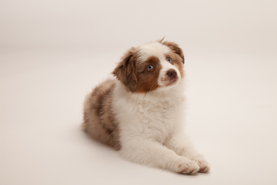 Chance the Toy Australian Shepherd