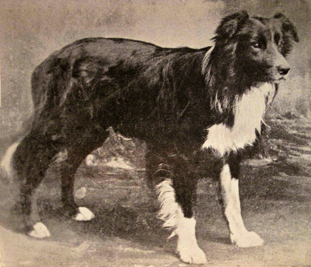 Old Hemp the Border Collie