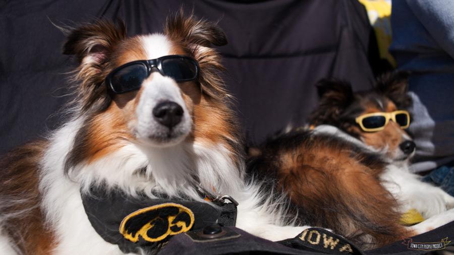 Iowa Hawkeye Dogs