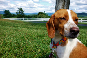 Daisy the Beagle, Coonhound Mix