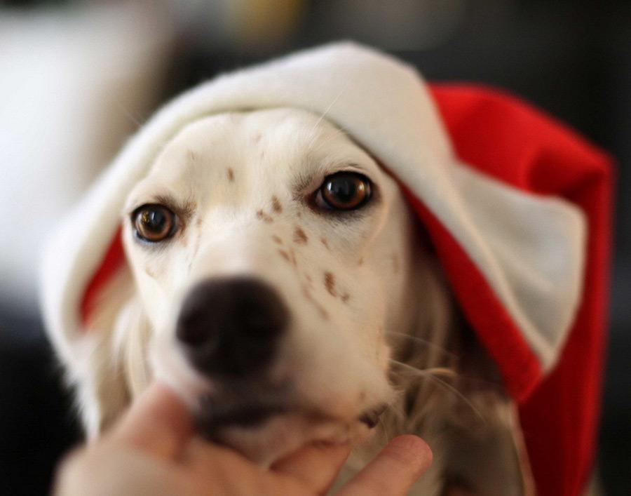 Christmas Setter