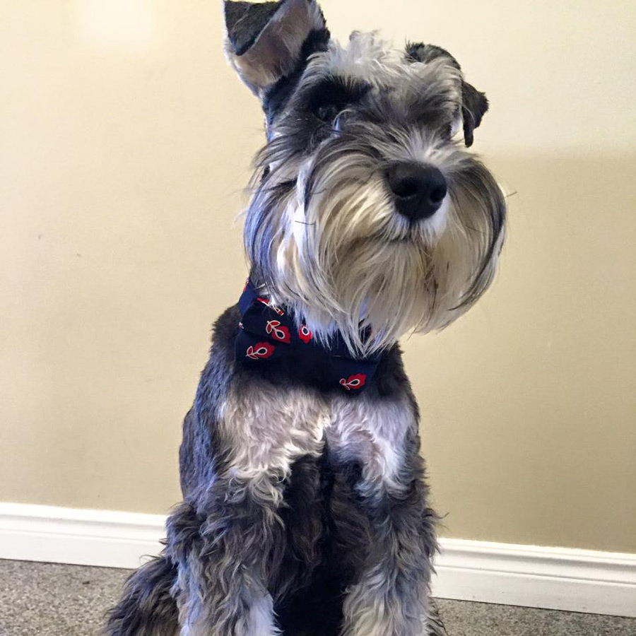 Chumpie the Miniature Schnauzer