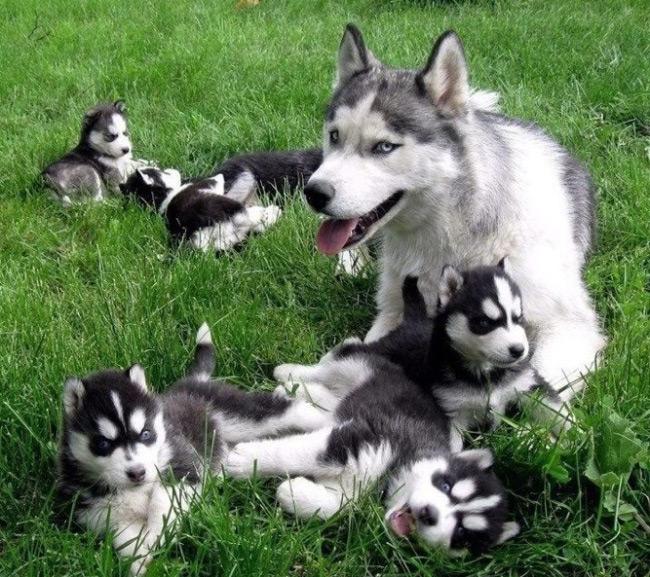Husky Puppies and Mom