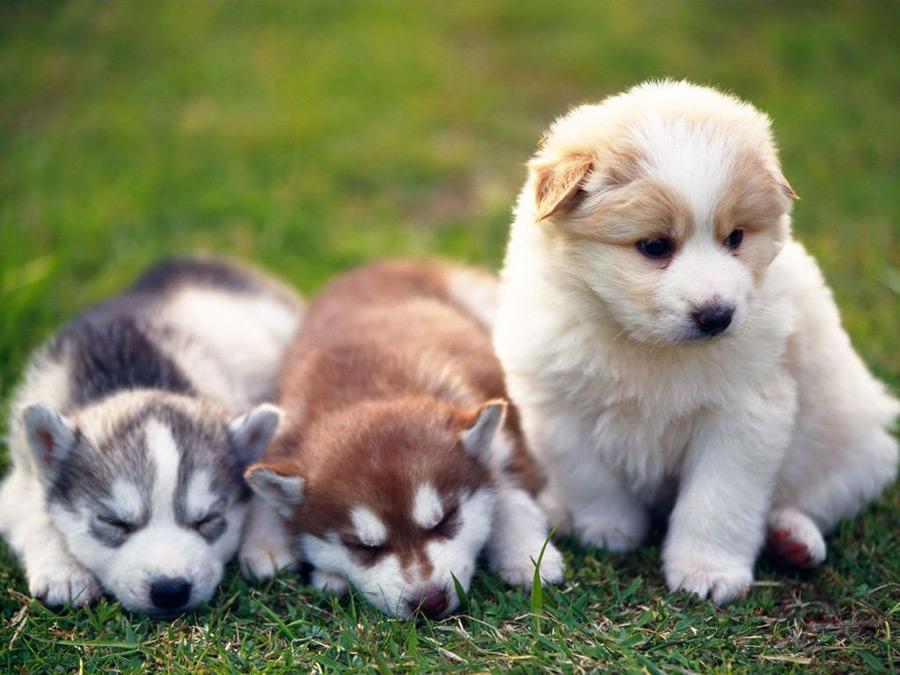 Three Husky Pups