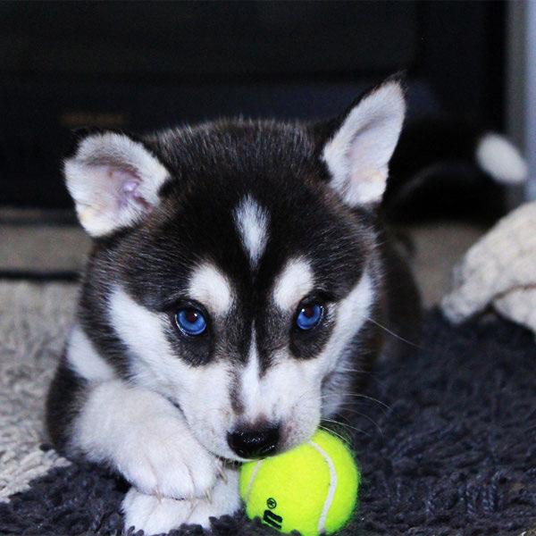 Siberian Husky with Tennis Ball