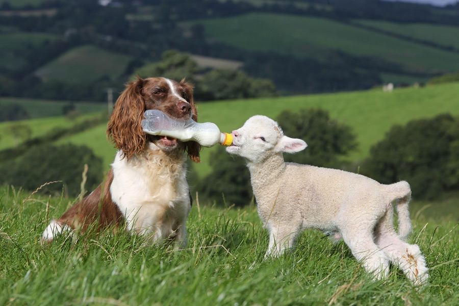 Dog and Little Lamb