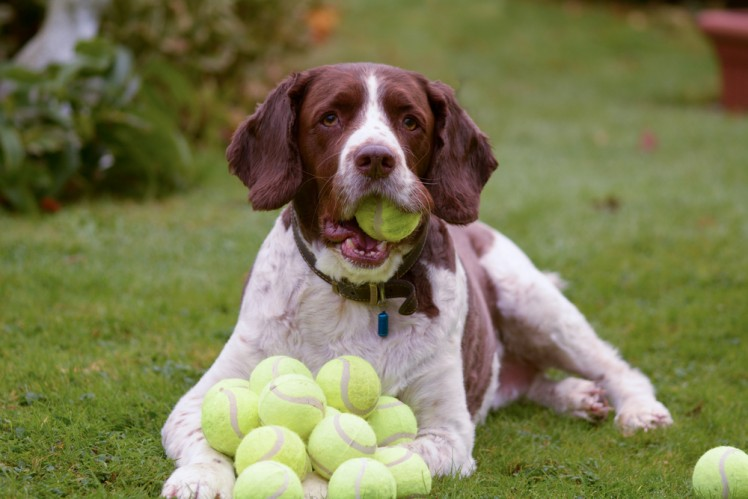 Dog with a whole bunch of tennis balls