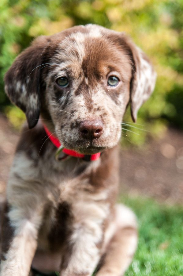 Lab and German Shorthair Pointer Mix