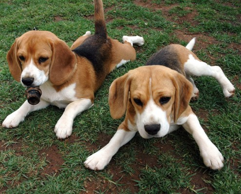American Foxhound Puppies
