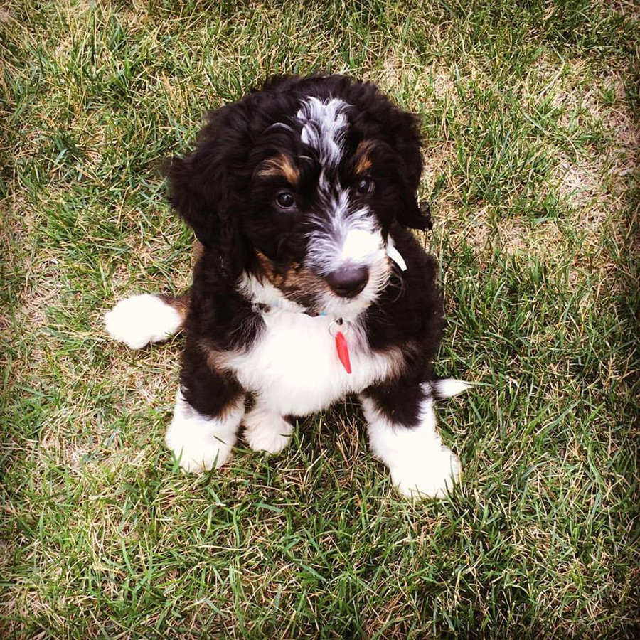 Doug the Bernese Mountain Dog, Poodle Mix