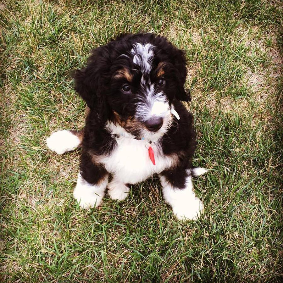 Doug The Bernese Mountain Dog Poodle Mix Dogperday Cute