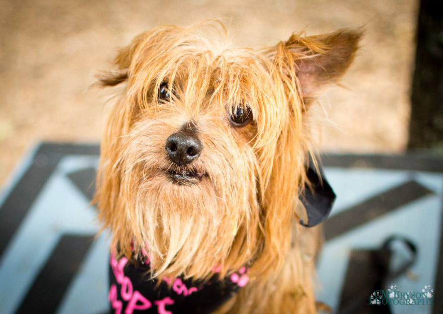 Yorkshire Terrier rescue dog