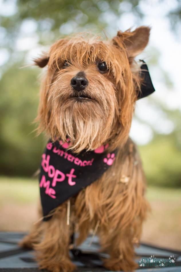Chloe the Yorkshire Terrier