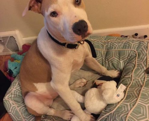 American Staffordshire Terrier Rescue Dog