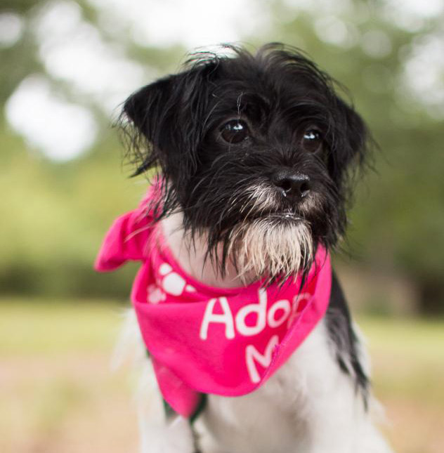 Khole the Cairn and Scottish Terrier Mix
