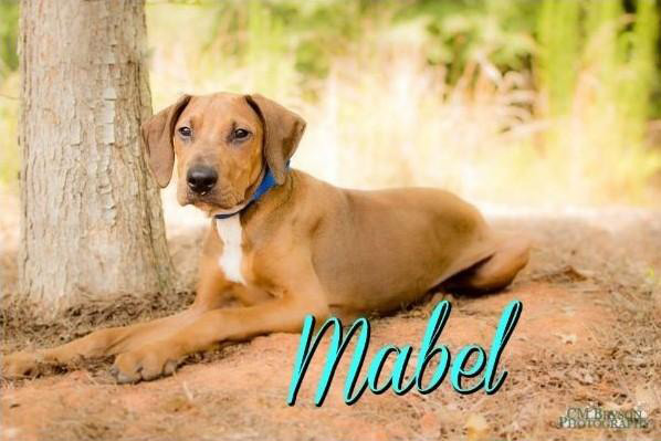 Redbone Coonhound Mix Dog