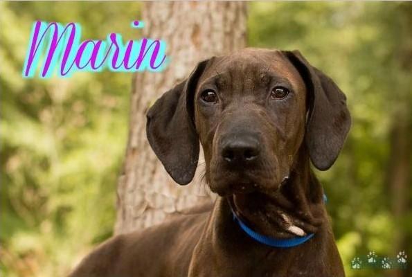 Marin the Redbone Coonhound Mix