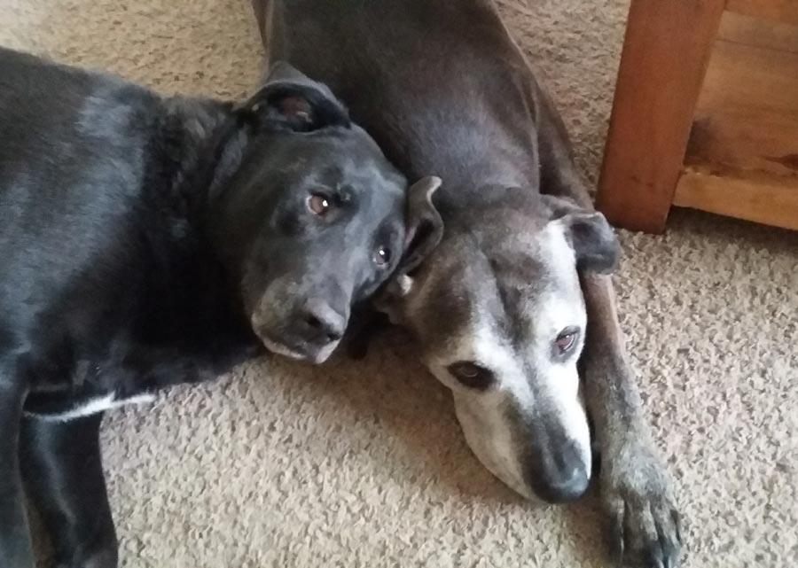 Maxx and Marley the Labrador Mixes
