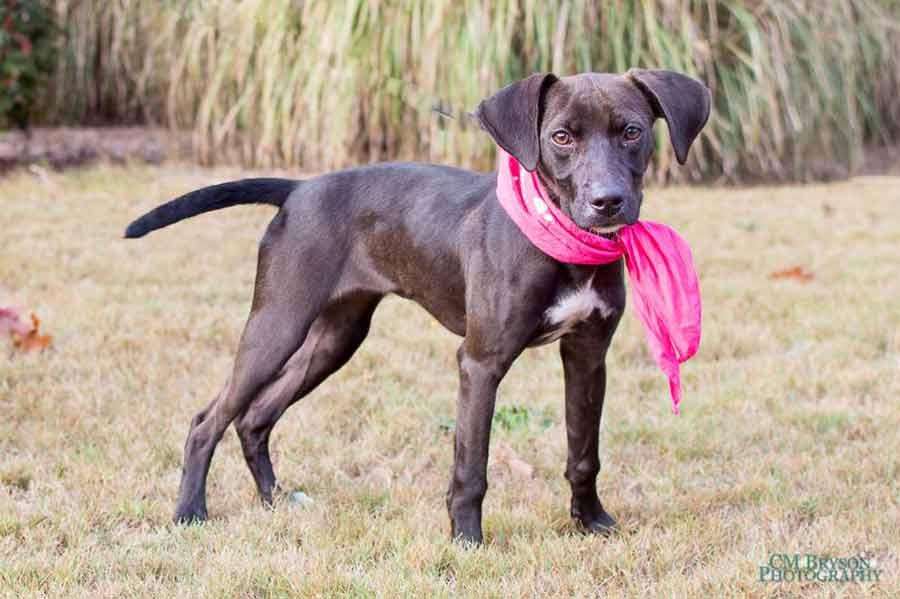 Mathilda Jane the Labrador Retriever Mix
