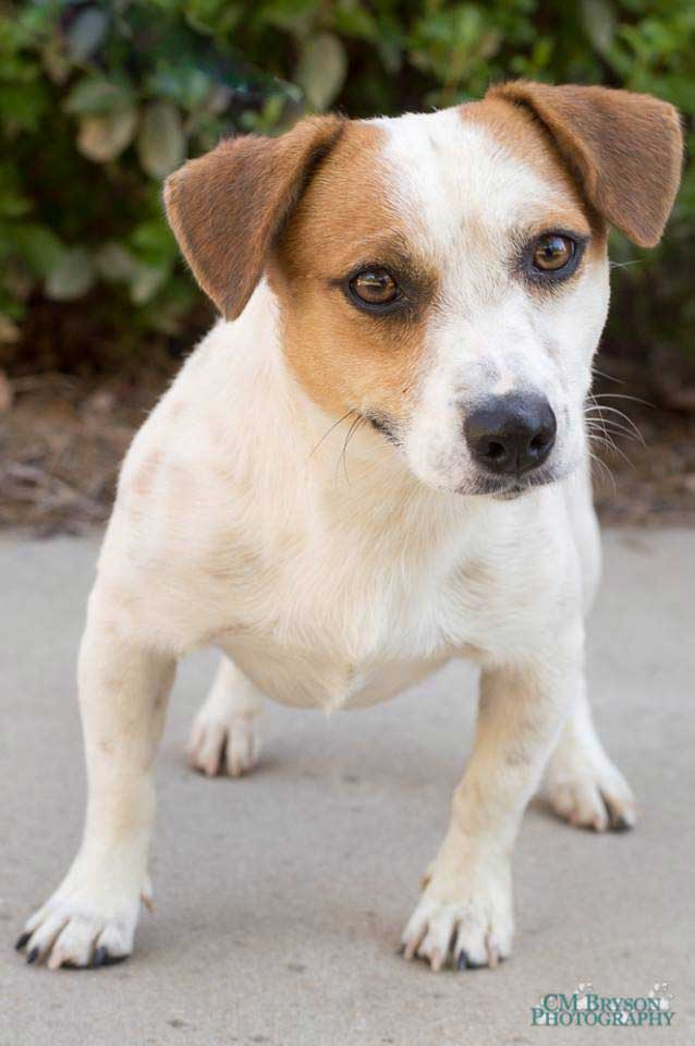 Tucker The Dachshund Jack Russell Terrier Mix