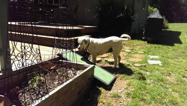 Blanca the Labrador Retriever Mix
