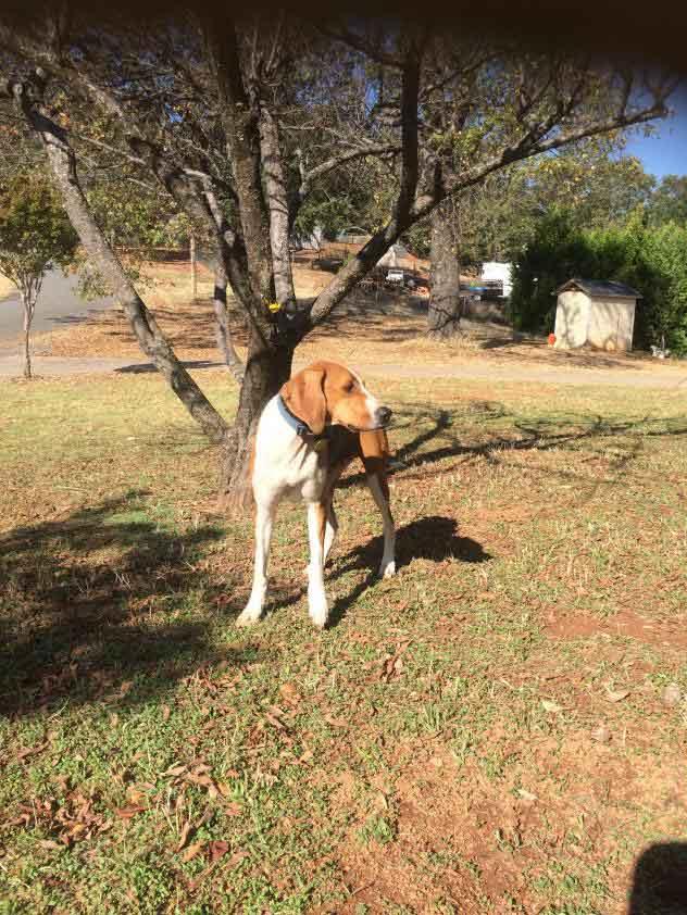 Mr. Bojangles the Treeing Walker Coonhound