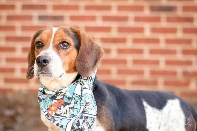 Rambler the Beagle